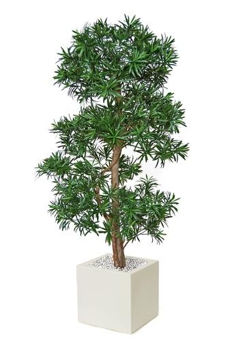 Podocarpus Multistep 180 cm Green